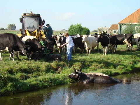 kráva nedokázala vylézt z vody sama