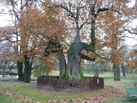 lípa v zámeckém parku v Telči