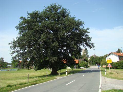 památný dub u vesnice Hirnsberg