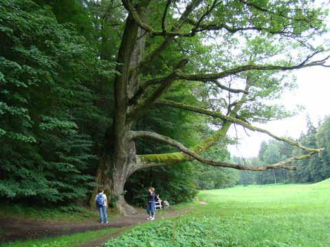 starý dub je kronikou údolí