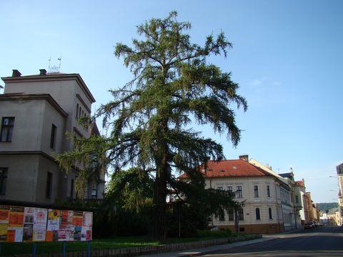 modřín u Knihovny Antonína Marka