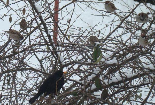 kos přednásí vrabcům o slusném chování