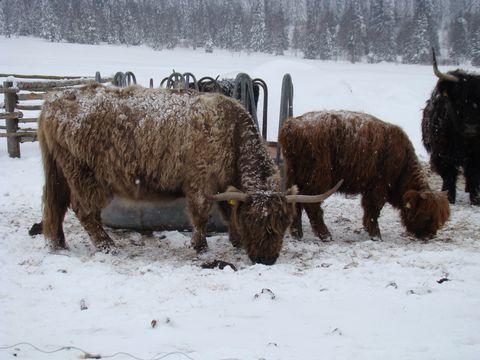 skotský skot na Horské Kvildě