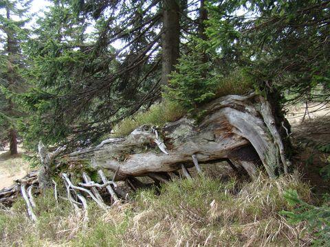 ze tlejícího dřeva vyrůstá semenáček