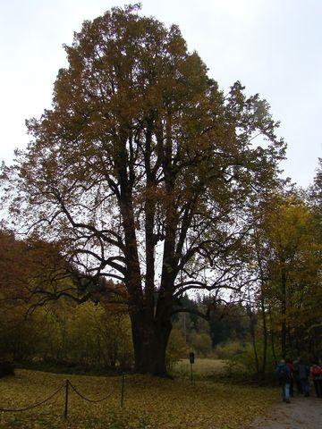 památná lípa na Horních Hutích u Čeřínku