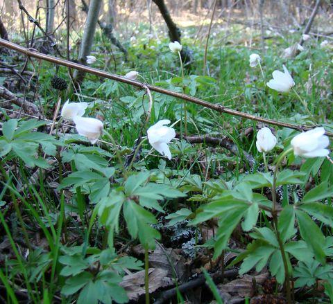 svůj obdiv žádají i další květy ve vlhkých lesích