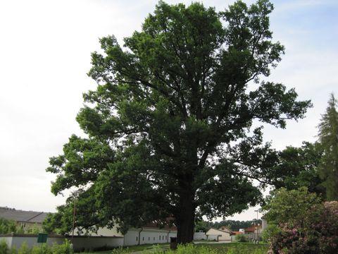 dub u zámku