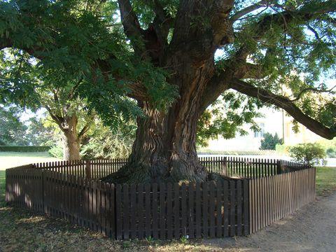 strom u lednického zámku
