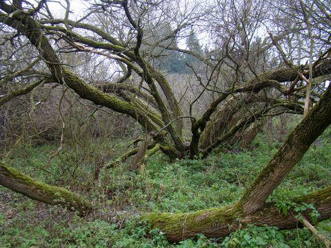 staré kmeny sbírají síly pro oslnivý jarní návrat