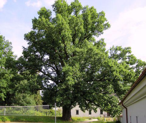 dub u třešťského zámku - znovu a jinak