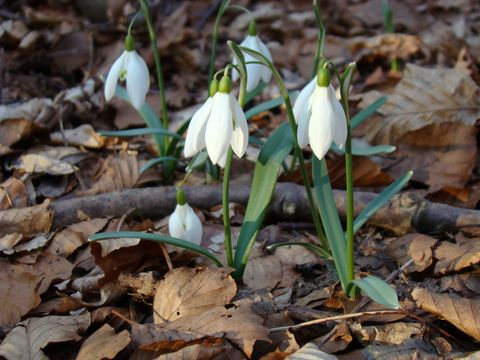 ve volné přírodě je na křehké květy sněženek hezčí podívání než v zahrádkách