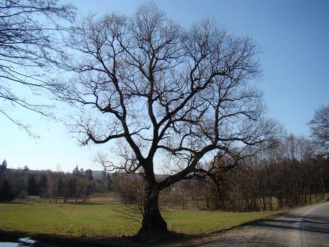 strom u staré stezky