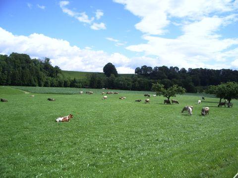 jejich veličenstva krávy
