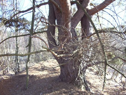 borovice na raąeliniąti