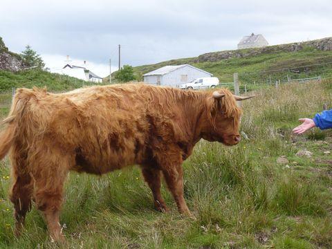 skotský náhorní skot 2