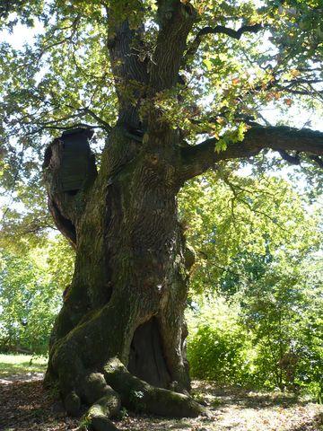 Zizkův dub v Podhradí u Lichnice 2