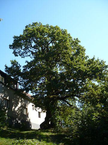 Zizkův dub v Podhradí u Lichnice 1