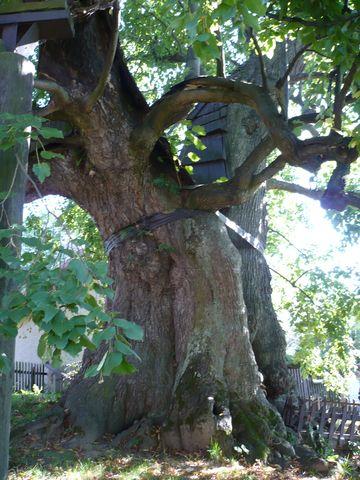 spodní část stromu má obvod téměř 9 m