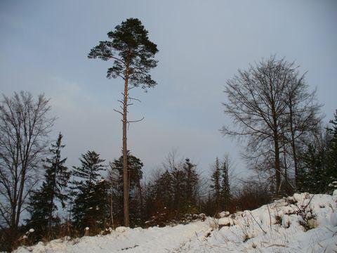 statečná borovice