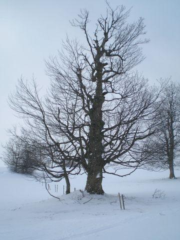 strom na návrsí u Studnic