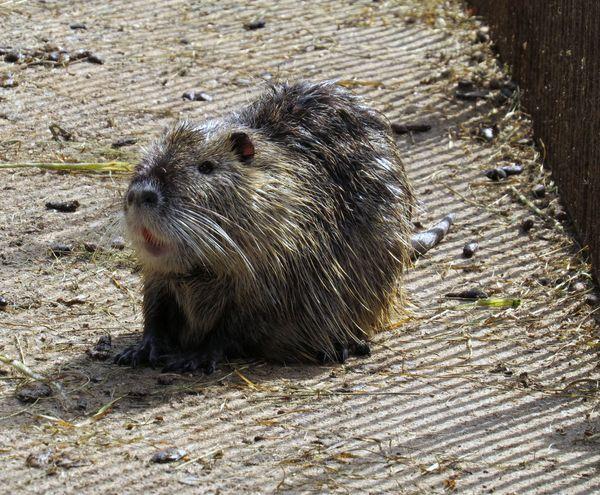 na břehu rybníka Rožmberk je bobrovna