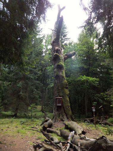 Žižkův dub - foto I. Svobodová