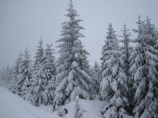 na Černé hoře už rostou mladé zdravé smrky