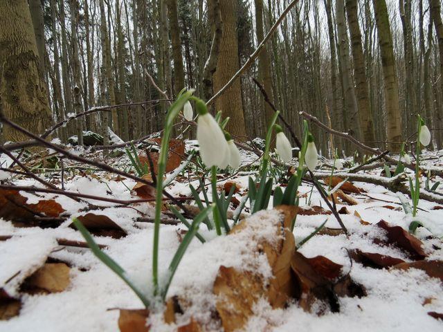 na svazích Špičáku jsou dnes plantáže sněženek pod sněhovým popraškem