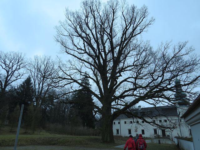 charakteristický obrázek mohutného dubu u zámku v Třešti; www.svatosi.cz