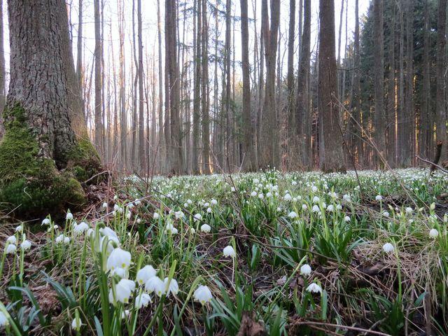 podmáčený les na Jechovci je ideálním místem pro růst bledulí; www.svatosi.cz