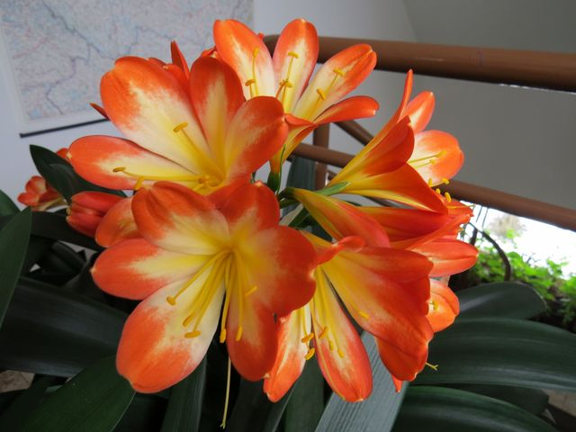 všechny naše klívie-stařenky kvetou každý rok; www.svatosi.cz