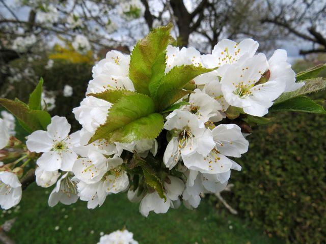 doufejme, že třešňové květy vydrží do prvního máje