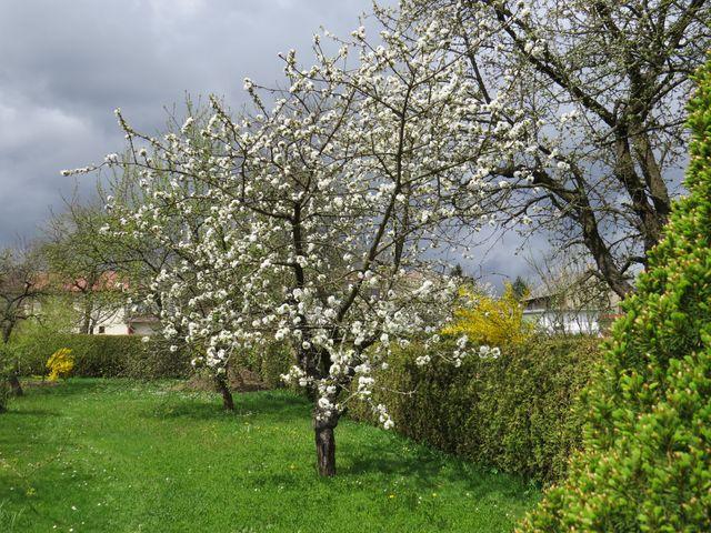 v blízkosti živého plotu z tújí se nedaří ovocným stromům nejlépe