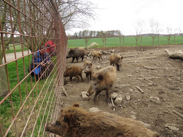 divočáci na farmě; www.svatosi.cz