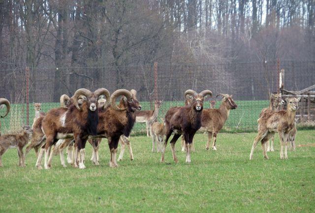 na farmě chovají též muflony
