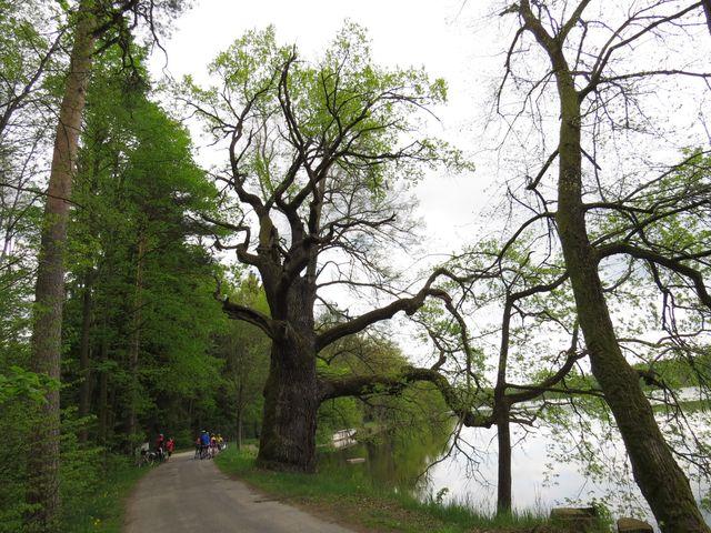 krása dubů na hrázi nedovolí nevšímavě projet kolem