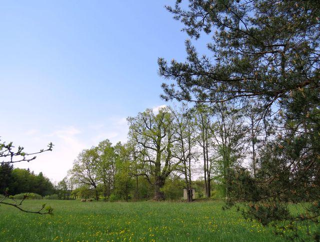 duby nedaleko rybníka Svět