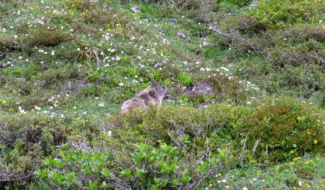 svišť v alpské květinové zahrádce