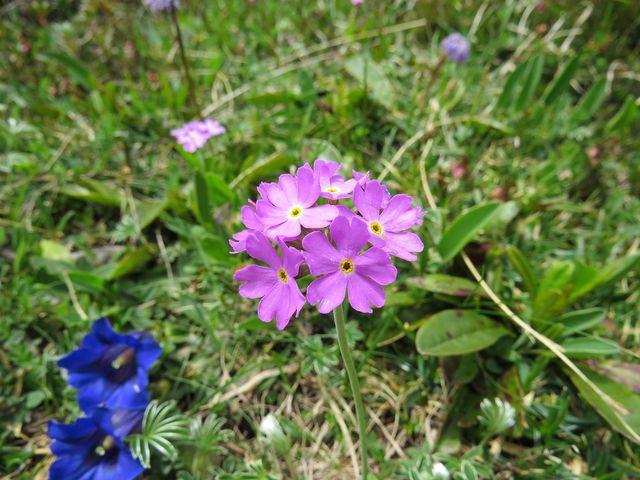 květy vznešené