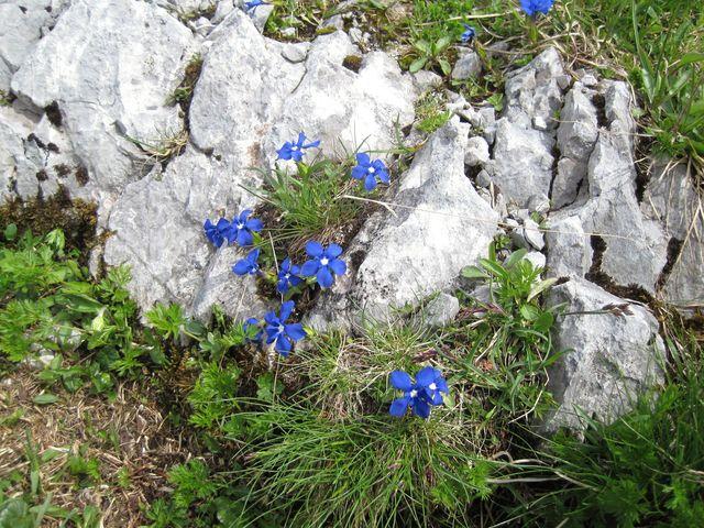 alpínské květy volají po pozornosti