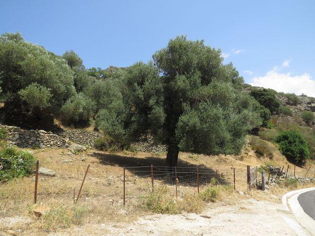 nekonečné olivové háje