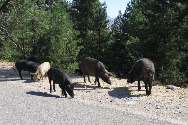 polodivoká prasata se promenádovala i po vozovce