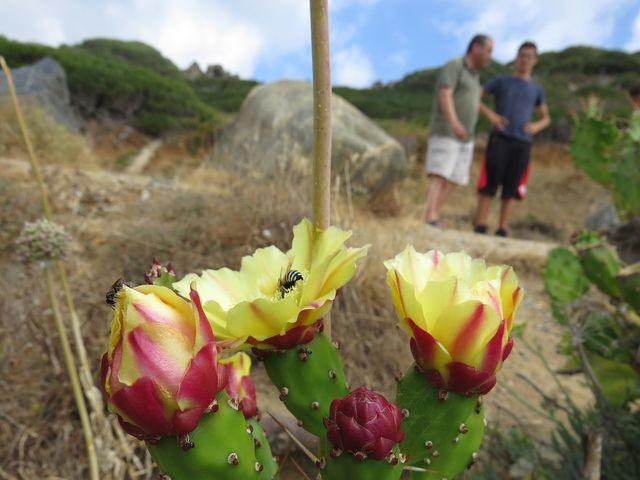 květy opuncií jsou nejen krásné, též omamně voní