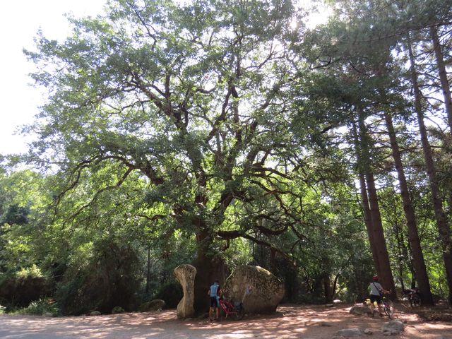 obrovitý dub uvězněný v kameni