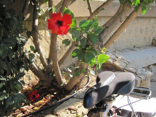 zátiší s ibiškem