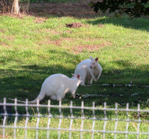 bílí klokani v soukromé ZOO na okraji Duchcova