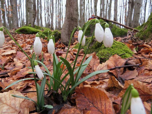 sněženky jsou jedním z druhů zdejšího bylinného patra; www.svatosi.cz