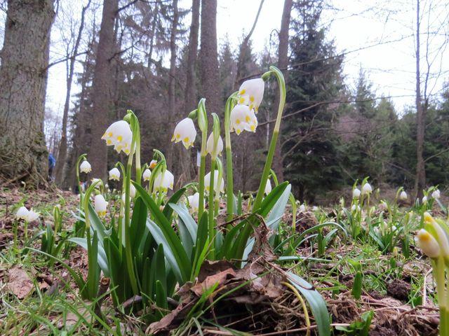 přírodní rezervace s výskytem bledulí je na ploše asi 3 hektary; www.svatosi.cz