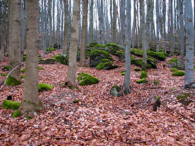 na Špičáku se zachovala původní dřevinná skladba lesa; foto F. Janeček
