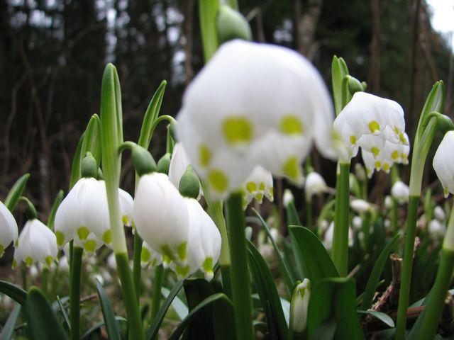 bledule kvetou přibližně tři týdny; foto F. Janeček